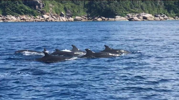 นักท่องเที่ยวเฮ…พบฝูงวาฬเพชฌฆาตดำกว่าสิบตัว โผล่โชว์ตัวที่หมู่เกาะสิมิลัน